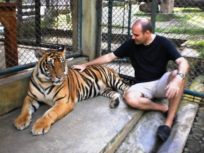 Tigres grandes del Tiger Kingdom