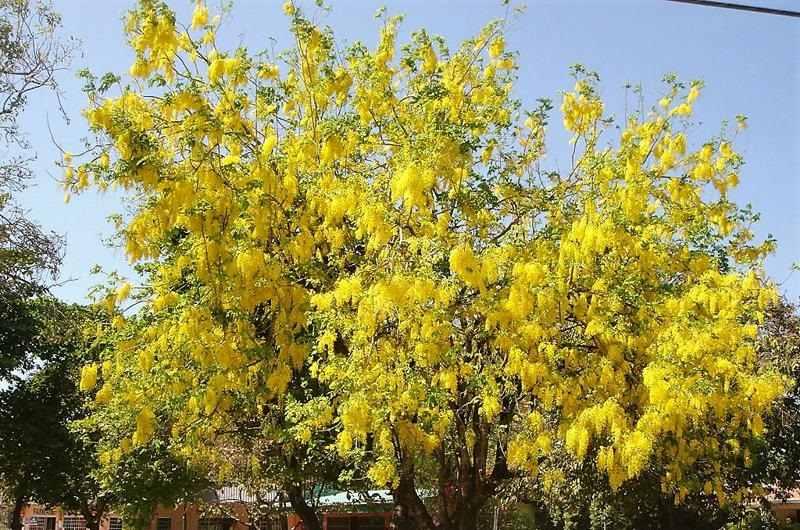 Flor Tailandesa Arbol Casia Fistula