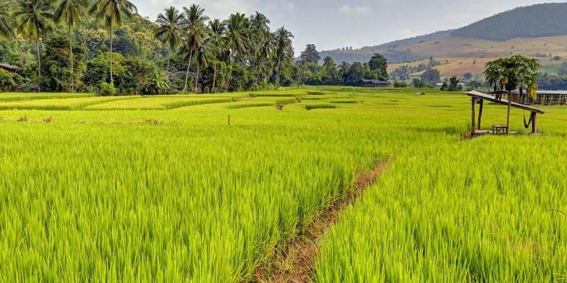 Camos de arroz en Octubre en Tailandia