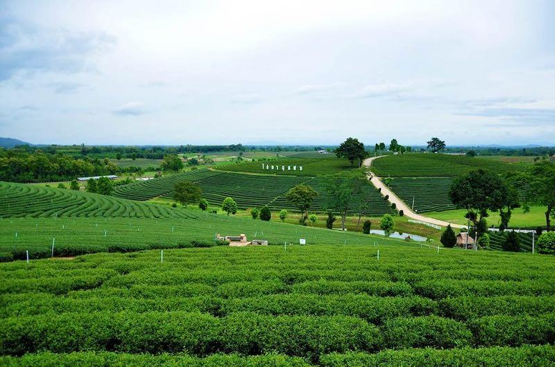 Plantación de te en Chiang Rai